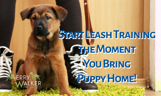 Cute german shepherd puppy being leash trained
