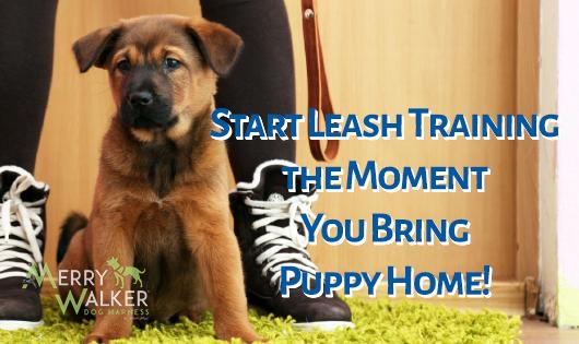 Cute german shepherd puppy being leash trained