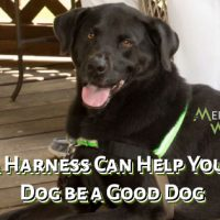Smiling Black Labrador Harness Can Help Your Dog